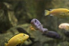 Vissen in een aquarium Stock Foto