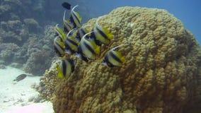 Vissen en ertsader Mooi milieu Rode Overzees stock videobeelden