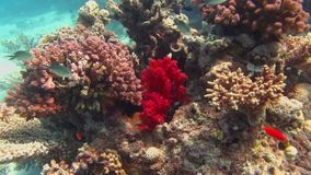 Vissen en ertsader Mooi milieu Rode Overzees stock footage