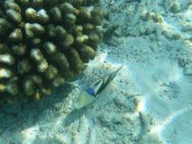 Vissen en koraal Stock Foto
