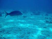 Vissen en koraalrif in Rode overzees Royalty-vrije Stock Afbeelding