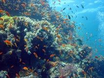 Vissen en koraalrif in Rode overzees Stock Fotografie