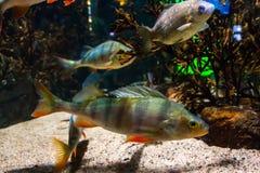Vissen Europese toppositie - percafluviatilis, in aquarium stock foto's