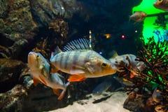 Vissen Europese toppositie - percafluviatilis, in aquarium royalty-vrije stock fotografie