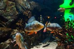 Vissen Europese toppositie - percafluviatilis, in aquarium stock foto