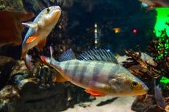 Vissen Europese toppositie - percafluviatilis, in aquarium royalty-vrije stock afbeelding