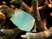 Vissen: Gespikkelde butterflyfish stock fotografie