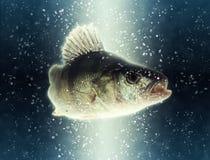 Vissen Grote fluviatilis van Perca van de rivier Europese toppositie stock afbeeldingen