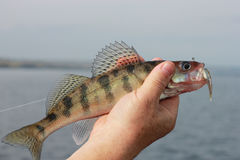 Vissen in hand visser Stock Afbeeldingen