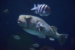 Vissen in het aquarium Stock Fotografie