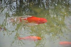 Vissen in het meer Stock Foto's