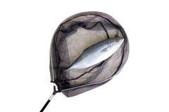 Vissen in het net worden gevangen dat Royalty-vrije Stock Afbeelding