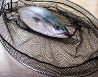 Vissen in het net worden gevangen dat Stock Foto's