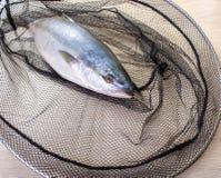 Vissen in het net worden gevangen dat Royalty-vrije Stock Foto's