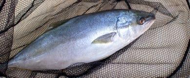 Vissen in het net worden gevangen dat Stock Fotografie