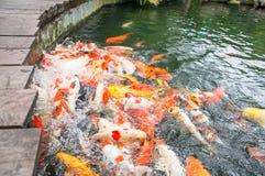 Vissen het voeden van koi Royalty-vrije Stock Foto