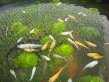 Vissen in het water Royalty-vrije Stock Afbeeldingen