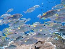 Vissen in Indische Oceaan in de Maldiven Stock Fotografie