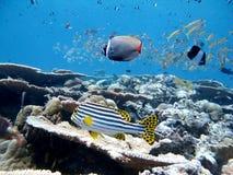 Vissen in Indische Oceaan in de Maldiven Royalty-vrije Stock Foto's