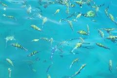 Vissen (indo-Vreedzame sergeant) in een tropische overzees bij Phi Phi-eiland Stock Afbeeldingen