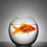 Vissen in kleine kom Stock Afbeeldingen