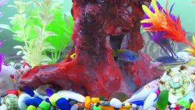 Vissen in kleurrijk aquarium in onderwater stock videobeelden