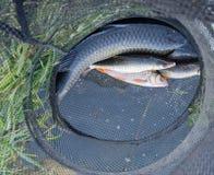 Vissen in kooien Stock Fotografie