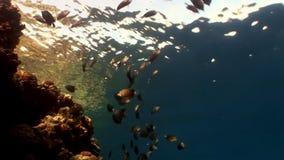 Vissen in koraal op schone blauwe onderwater Rode overzees als achtergrond stock video