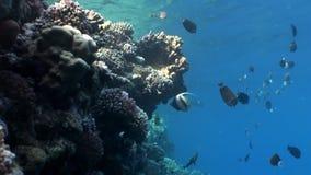 Vissen in koraal op schone blauwe onderwater Rode overzees als achtergrond stock footage
