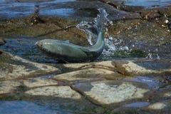Vissen Levend op Rotsen royalty-vrije stock afbeeldingen