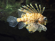 Vissen lionfish Stock Afbeeldingen