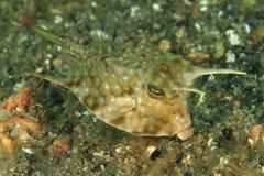 Vissen - Longhorn cowfish Royalty-vrije Stock Fotografie