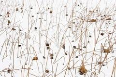 Vissen lotusblomma Arkivfoton