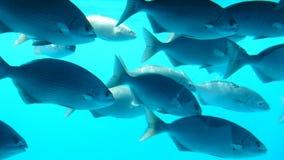 Vissen in Manihi Stock Afbeelding