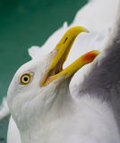 Vissen Merwecombinatie. A close up Photo of a Seagull royalty free stock image