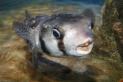 Vissen met Open Mond Stock Afbeelding