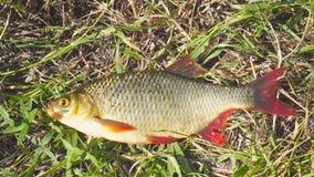 Vissen met rode vinnen op het gras stock video