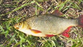 Vissen met rode vinnen op het gras stock videobeelden