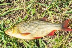 Vissen met rode vinnen op het gras stock foto's