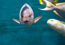 Vissen met tanden onder het water Stock Foto