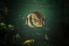 Vissen, Mooie vissen, Vissen in het kabinet, Zwemmende vissen royalty-vrije stock fotografie