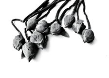 Vissen näckros, lotusblommablommor på svartvit backgrou Royaltyfri Fotografi
