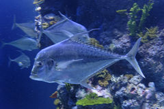 Vissen naar beneden Royalty-vrije Stock Afbeelding