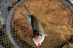 Vissen in netto Stock Afbeelding