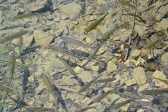 Vissen onder de oppervlakte van water van meer royalty-vrije stock afbeelding