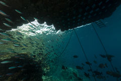 Vissen onder een drijvende pijler in het Rode Overzees. Stock Afbeeldingen