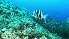 Vissen onderwater - Grote keizerbrasem die in een Middellandse Zee ertsader zwemmen stock videobeelden