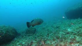 Vissen onderwater - Tandbaars die in bewolkt water zwemmen stock videobeelden