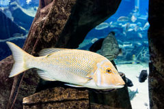 Vissen onderwater zwemmen Stock Afbeelding
