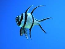Vissen op blauw royalty-vrije stock foto